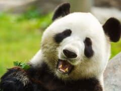China_Chengdu_Panda_shutterstock_293275145