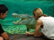 Goliath Estaurine Crocodile