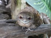 Papuan Frogmouth in Cairns Wildlife Dome