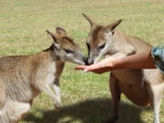 Hand Feeding Wallabies