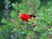 Hawaiian Honey Creeper, iiwi bird_shutterstock_477185860