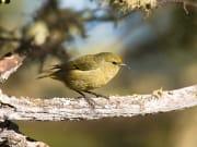 Amakihi Bird_shutterstock_75943288