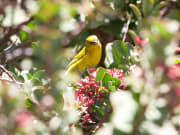 Honeycreeper Bird called Amakihi_shutterstock_1058075249