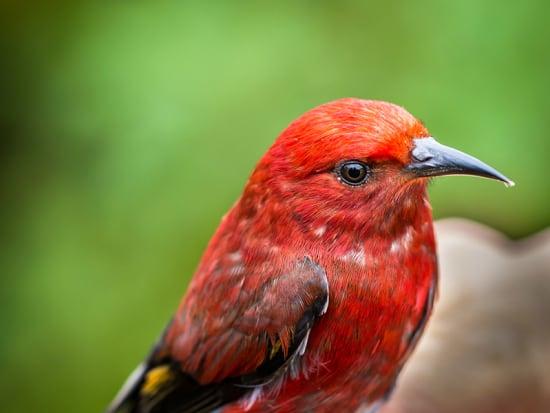 Apapane Bird_shutterstock_1051309463