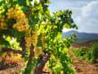 grapes, champagne, vineyard