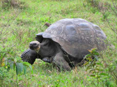Gala-Giant tortoise2