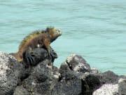 Gala-Marine iguana1