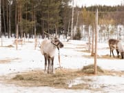 Visit to a Local Reindeer Farm - 2 (1)
