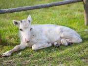 Visit to Genuine Local Reindeer Farm2 (1)