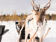 Visit to a Local Reindeer Farm - 3
