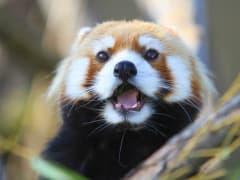 Japan_Hokkaido_Asahikawa_Asahiyama_zoo_Lesser_panda_shutterstock_1225860250