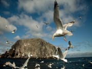 Scotland_Bass Rock_Seagull