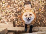 Japan_Miyagi_Zao_fox_village_shutterstock_558045640