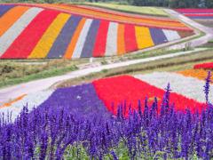 Japan_Hokkaido_Flower_Fields_shutterstock_720243751