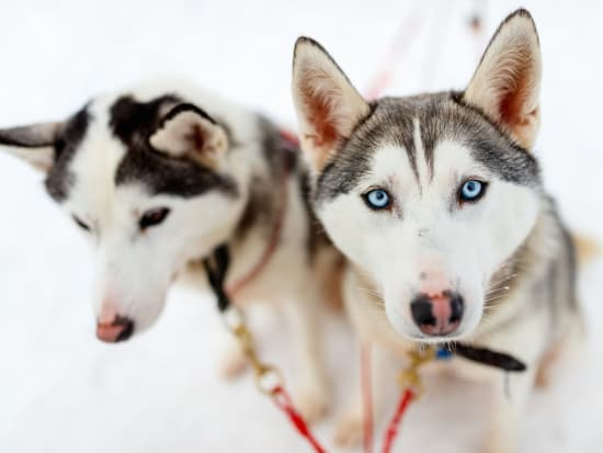 7b3aa0afc3 Husky and Reindeer Farms Tour with Sled Rides from Rovaniemi ...