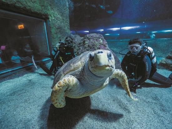 giant turtle in aqwa aquarium of western australia