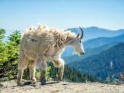 USA_Washington_Olympic National Park_Mountain Goat