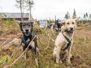 Visit-to-Arctic-Husky-Kennel