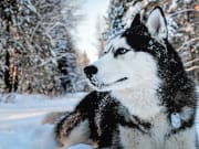 Arctic Husky covered in snow