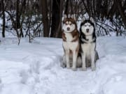 Two Arctic Huskies sitting on snow