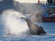 humpback whale sighting in sydney