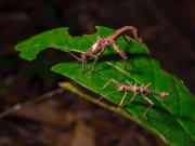 walking stick insects gunung gading