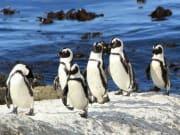 Meet the Betty's Bay Penguins