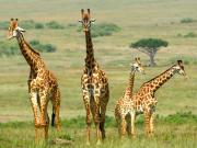 Africa_Kenya_Masaimara_shutterstock_393136237