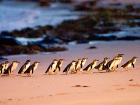 フィリップ島ペンギンパレード | メルボルンの観光・オプショナルツアー専門 VELTRA(ベルトラ)