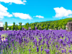 Japan_Hokkaido_Furano_Lavender_shutterstock_1413872579