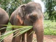 Thailand_Phuket_Feed Elephants Experience