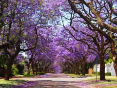 South_Africa_pretoria_jacaranda_shutterstock_1378630163