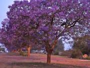 South_Africa_pretoria_jacaranda_shutterstock_1265967385