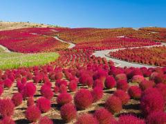 japan_ibaraki_hitachi_hitachiseasidepark_kochia_shutterstock_387096400