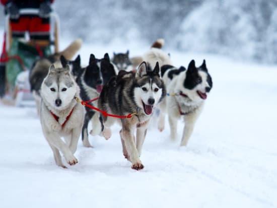 Dog Sleding_shutterstock_130525445