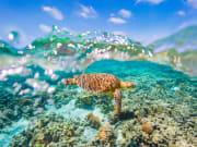 Generic_Green Sea Turtle_shutterstock_549525676