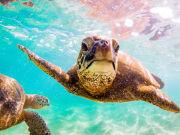 Hawaii_Oahu_Haleiwa_Snorkeling_Sea_Turtle_shutterstock_649825681