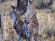 14251_eastern_grey_kangaroo