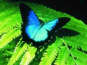 ulysses-butterfly-