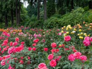 USA_portland_intl-rose-test-garden_shutterstock_154609328