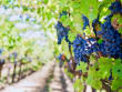 Amarone, Vineyard, Italy