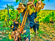 Italy, Verona, Amarone, Amarone Vineyard