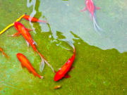 Feed the fish in the Red Fish Pond for good luck