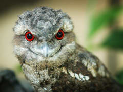 Wildlnight Habitat Nocturnal Tour Papuan Frogmouth