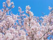 Japan_cherry blossoms_spring_Saitama_shutterstock_788529439