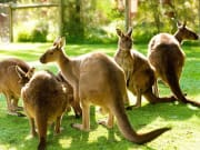 Healesville Sanctuary - kangaroos