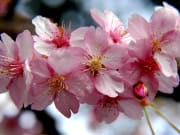 Tokyo cherry blossom tour