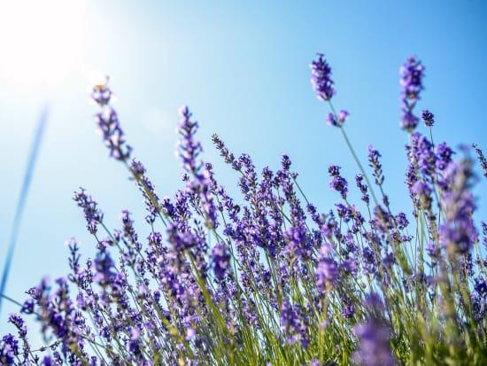 Hokkaido_Furano_Farm_Tomita_Lavender_shutterstock_154932899