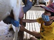 ヤギ乳搾り (2)