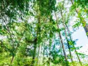 百年杉並木②
